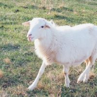 Registered Rams and Ewes for Sale