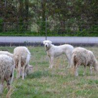 Akbash Livestock/Estate/Family Guardians Purebred/Registered