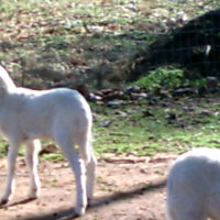 St Croix lambs and Anatolian livestock guardians