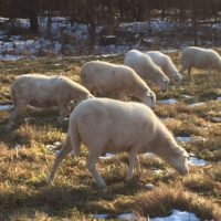 Registered St Croix ewes for sale (March 2017) 6 available