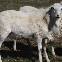 Incredible St. Croix Yearling Rams for Sale