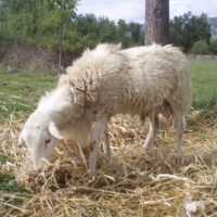 registered ram lambs for sale