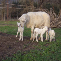 Registered lambs for sale