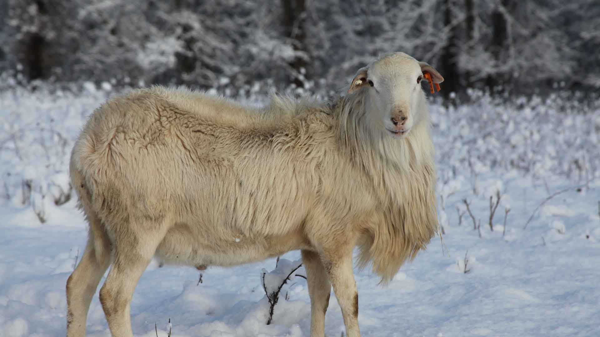 Care | St Croix Hair Sheep Breeders