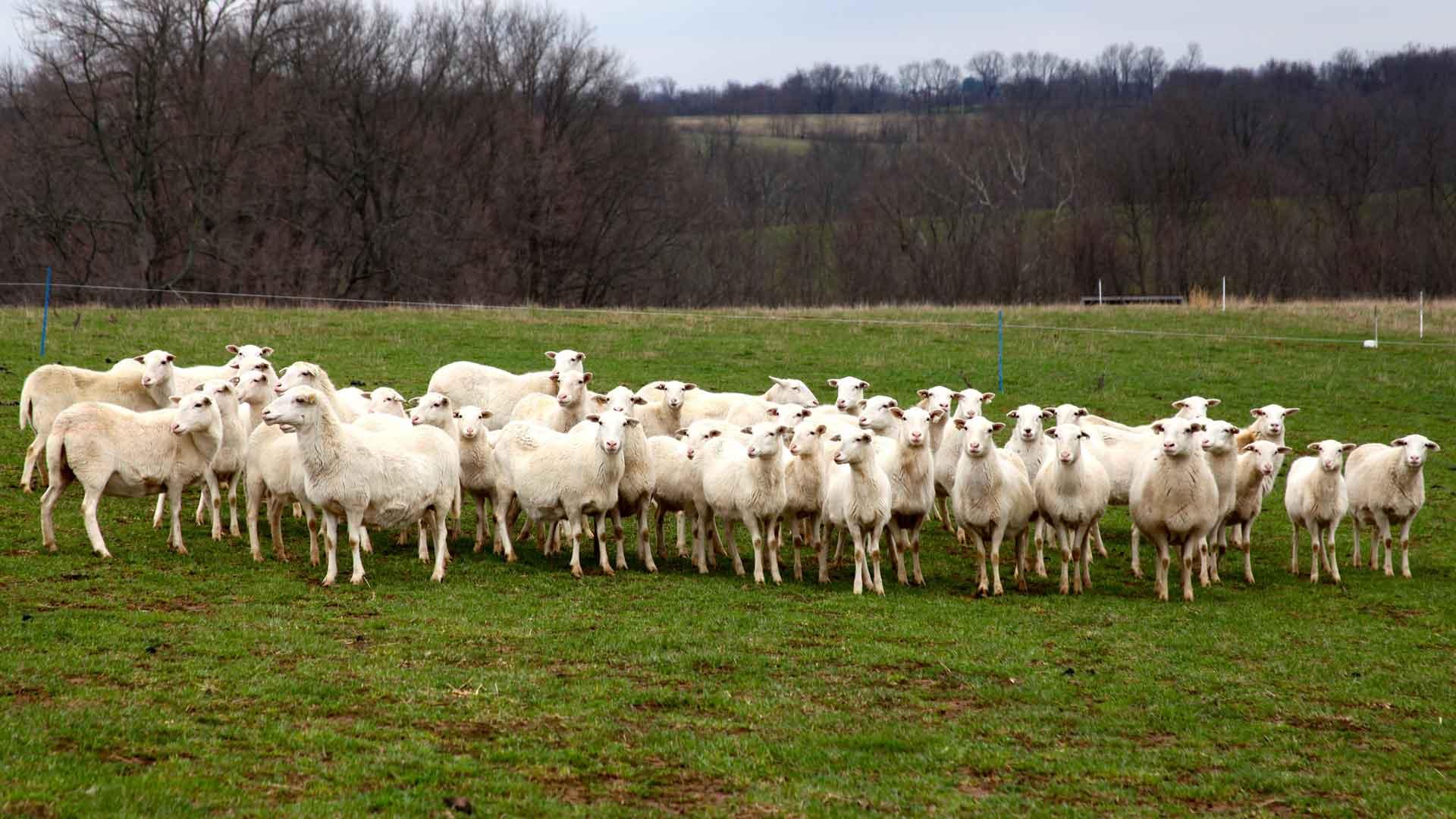 Breeders | St Croix Hair Sheep Breeders