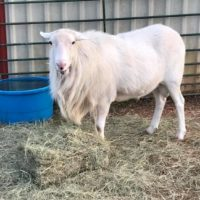 Buy/Sell | St Croix Hair Sheep Breeders